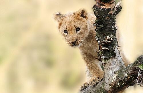 Tanzania rondreis leeuw